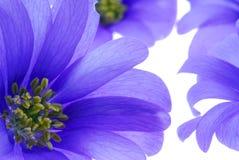 Blauwe bloemenclose-up Stock Afbeeldingen