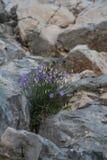 Blauwe bloemenklokken onder de stenen op de berghelling royalty-vrije stock foto