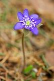 Blauwe bloemhepatica. Stock Afbeelding