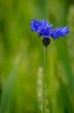 Blauwe bloemkorenbloem Stock Afbeeldingen