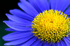 Blauwe bloemmacro Royalty-vrije Stock Afbeelding