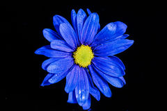 Blauwe bloemmacro Stock Foto