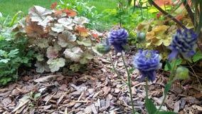 Blauwe bloesems en geschakeerde gronddekking in zonnig tuinbed Stock Afbeeldingen