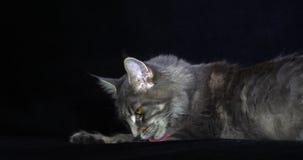 Blauwe Blotched Tabby Maine Coon Domestic Cat die, Wijfje tegen Zwarte Achtergrond, het Likken, Normandië in Frankrijk, Langzame  stock video