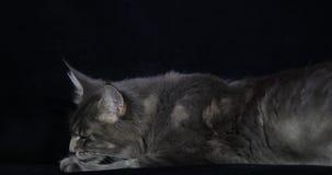 Blauwe Blotched Tabby Maine Coon Domestic Cat die, Wijfje tegen Zwarte Achtergrond, het Likken, Normandië in Frankrijk, Langzame  stock footage