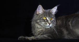 Blauwe Blotched Tabby Maine Coon Domestic Cat die, Wijfje tegen Zwarte Achtergrond, Normandië in Frankrijk, Langzame motie leggen stock video