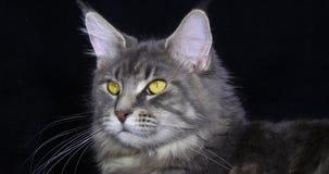 Blauwe Blotched Tabby Maine Coon Domestic Cat, Portret van Wijfje tegen Zwarte Achtergrond, Normandië in Frankrijk, Langzame moti stock footage