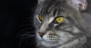 Blauwe Blotched Tabby Maine Coon Domestic Cat, Portret van Wijfje tegen Zwarte Achtergrond, Normandië in Frankrijk, Langzame moti stock video