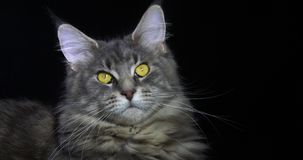 Blauwe Blotched Tabby Maine Coon Domestic Cat, Portret van Wijfje tegen Zwarte Achtergrond, Normandië in Frankrijk, Langzame moti stock videobeelden