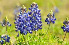 Blauwe Bonnet stock foto's