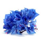 Blauwe bougainvillea Royalty-vrije Stock Foto's