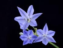 Blauwe Brodiaea-bloem Stock Foto's