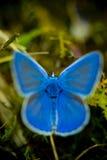 Blauwe buterrfly Royalty-vrije Stock Afbeeldingen