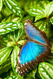 Blauwe butteryfly Stock Foto's