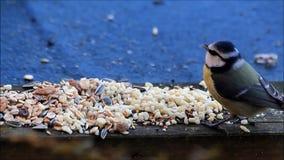 Blauwe caeruleus die van meesparus vogelzaad eten stock video