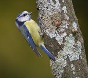 Blauwe caeruleus van Cyanistes van de Mees Stock Foto