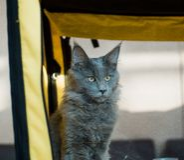 Blauwe Cat Maine Coon in de tentoonstelling stock afbeelding