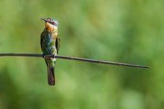 Blauwe Cheeked-Bijeneter in licht Zuid-Afrika Royalty-vrije Stock Fotografie