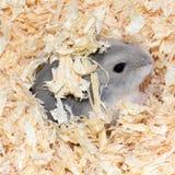 Blauwe Chinese Hamster Stock Foto's