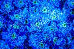 Blauwe chrysant royalty-vrije stock foto