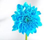 Blauwe chrysant voor viering Stock Afbeeldingen