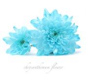 Blauwe chrysantenbloem Stock Afbeeldingen