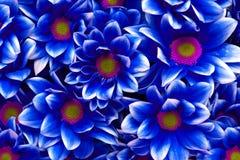 Blauwe chrysantenbloemen Stock Afbeelding