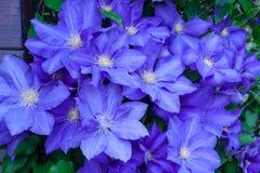Blauwe clematissen Royalty-vrije Stock Fotografie