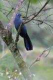 Blauwe Coua Royalty-vrije Stock Afbeeldingen