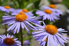 Blauwe Daisy Royalty-vrije Stock Foto's