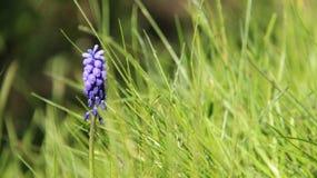 Blauwe de Bloemenbloesem van Druivenhyacinten royalty-vrije stock afbeelding