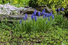 Blauwe de Druivenhyacint van muscaribloemen in de tuin Royalty-vrije Stock Foto's