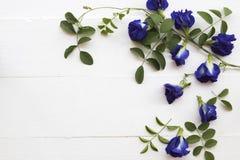 Blauwe de erwten lokale flora van de bloemvlinder van Azië stock afbeelding