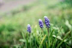 Blauwe de lentebloem, druivenhyacint in groen gras in tuin Mus stock afbeelding
