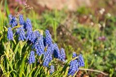 Blauwe de lentebloem, Druivenhyacint, Muscari-racemosum Royalty-vrije Stock Afbeeldingen