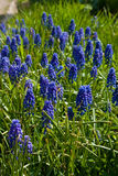 Blauwe de lentebloemen Royalty-vrije Stock Afbeeldingen
