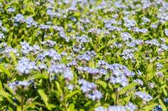 Blauwe de Lentebloemen Royalty-vrije Stock Afbeelding