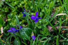 Blauwe de lentebloemen Royalty-vrije Stock Foto