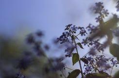 Blauwe de lentebloemen - de vergeet-mij-nietjes groeien in de tuin Royalty-vrije Stock Afbeelding