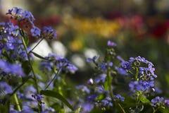 Blauwe de lentebloemen - de vergeet-mij-nietjes groeien in de tuin Royalty-vrije Stock Foto