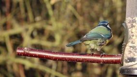 Blauwe de vogel blauwe mees van de meesvoeder stock video