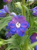 Blauwe delphinum Royalty-vrije Stock Foto