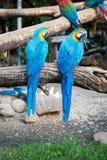 Blauwe die ara twee op een boomtak wordt neergestreken in een dierentuin Royalty-vrije Stock Fotografie