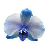 Blauwe die bloemorchidee op witte achtergrond wordt geïsoleerd Royalty-vrije Stock Afbeeldingen