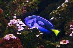 Blauwe die hepatus van zweempjeparacanthurus, ook als Palet wordt bekend surgeonfish, vorstelijk zweempje in hun habitat stock fotografie