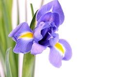 Blauwe die irissen op witte achtergrond worden geïsoleerd Royalty-vrije Stock Foto