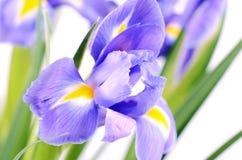 Blauwe die irissen op witte achtergrond worden geïsoleerd Royalty-vrije Stock Afbeelding