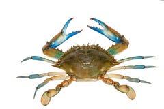Blauwe die krab op witte achtergrond wordt geïsoleerd Royalty-vrije Stock Afbeeldingen