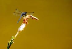 Blauwe die Libel op een bloemsteel wordt neergestreken Royalty-vrije Stock Foto