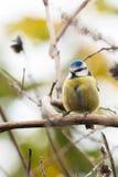 Blauwe die mees op tak wordt neergestreken Stock Fotografie